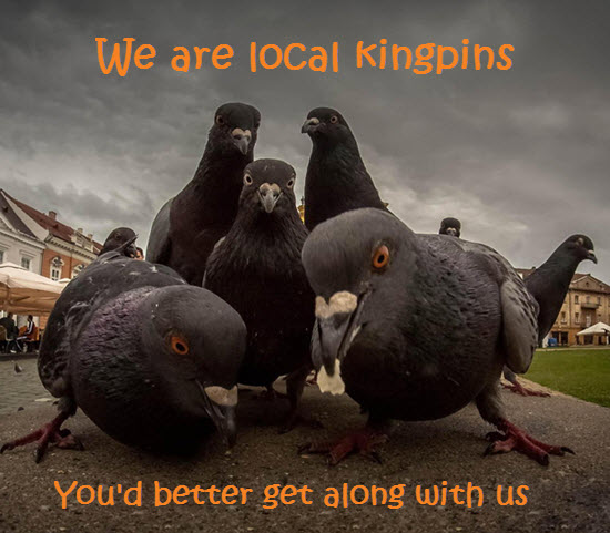 Pigeon update effect